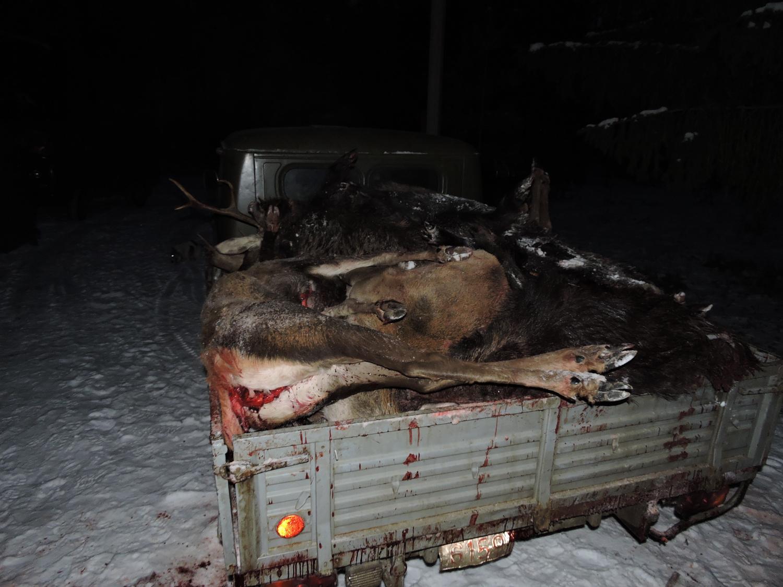 Беловежская пуща стала местом для активной охоты на лося